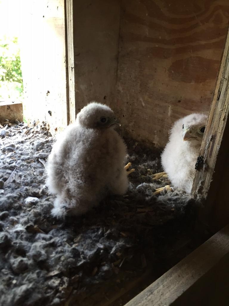 Unsere zwei Falkenküken
